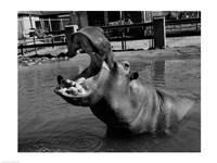 USA, Louisiana, New Orleans, Hippopotamus in zoo Fine Art Print