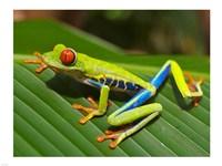 Red Eyed Tree Frog Fine Art Print