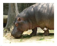 Face Hippopotamus Amphibius Mexico Fine Art Print