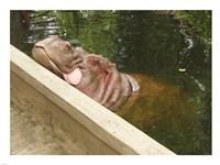 Hipopotam - Warszawskie Zoo Fine Art Print