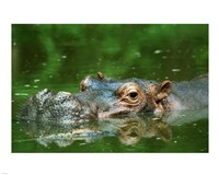 Hippopotamus Surfacing Fine Art Print