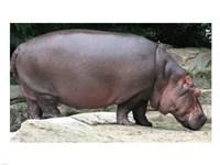 Nijlpaard Fine Art Print