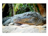 Loro Parque Alligator Fine Art Print