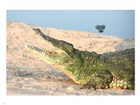Open Mouth Crocodile Fine Art Print