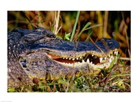 Alligator - close up Fine Art Print