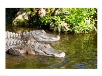 American alligators in a pond, Florida, USA Framed Print