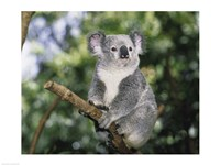 Koala on a tree branch, Lone Pine Sanctuary, Brisbane, Australia (Phascolarctos cinereus) Framed Print
