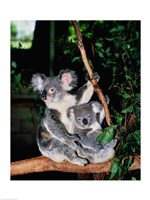 Koala and its young sitting in a tree, Lone Pine Sanctuary, Brisbane, Australia (Phascolarctos cinereus) Fine Art Print