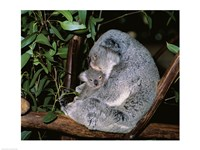 Koala hugging its young, Lone Pine Sanctuary, Brisbane, Australia (Phascolarctos cinereus) Fine Art Print