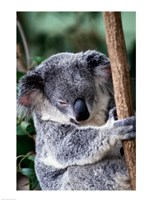 Koala Bear Australia Fine Art Print