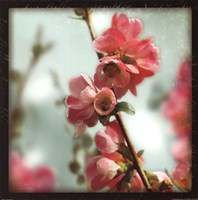Quince Blossoms III Fine Art Print