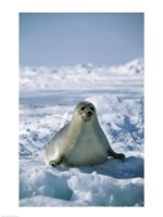 Harp Seal on Ice Fine Art Print