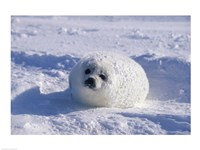 Harp Seal Wrapped in Snow Fine Art Print