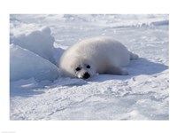 Harp Seal pup lying in snow Fine Art Print