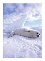 Seal - laying Fine Art Print