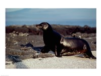 Galapagos Sea Lion Galapagos Islands Ecuador Fine Art Print