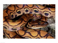 Close-up of a Brazilian Rainbow Boa curled up (Epicrates cenchria cenchria) Framed Print