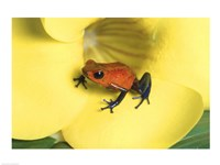 Strawberry Poison Dart Frog Fine Art Print