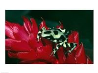 Green and Black Poison Frog Fine Art Print