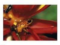 Strawberry Poison Frog - red flower Fine Art Print