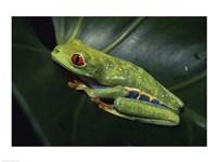 Red-Eyed Tree Frog Fine Art Print