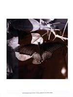 Butterfly Study II Framed Print