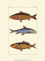 Freshwater Fish II Fine Art Print