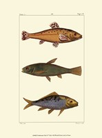 Freshwater Fish IV Fine Art Print
