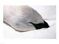 Close-up of Trumpeter Swan (Cygnus buccinator) Fine Art Print
