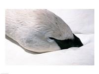 Close-up of Trumpeter Swan (Cygnus buccinator) Fine Art Print