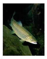Brown Trout Underwater Fine Art Print