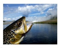 Brown Trout and Soft Hackle Nymph Fine Art Print