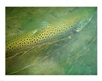 Madison River Brown Trout Fine Art Print