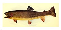 Yellowstone cutthroat trout Fine Art Print