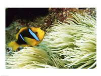 Close-up of a Two-banded Clown fish swimming underwater, Nananu-I-Ra Island, Fiji Fine Art Print