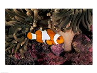 Percula Clownfish swimming near sea anemones underwater Fine Art Print