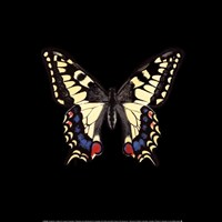 Butterfly on Black Fine Art Print