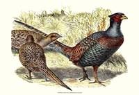 Pheasant Varieties I Fine Art Print