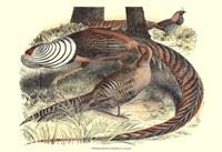 Pheasant Varieties III Fine Art Print