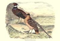 Pheasant Varieties IV Fine Art Print