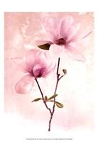 Tulip Blush II Fine Art Print