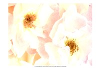 Rose Blush Fine Art Print