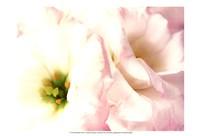 Lily Blush Fine Art Print