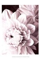 B&W Dahlias I Framed Print