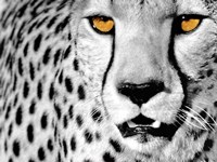 White Cheetah Fine Art Print