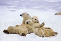 Polar Bear Playtime Fine Art Print