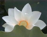 Delicate Lotus III Framed Print