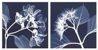 Hydrangeas [Negative] Fine Art Print