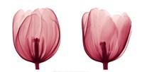 Tulips [Positive] Fine Art Print