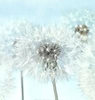 Dandelion I Framed Print